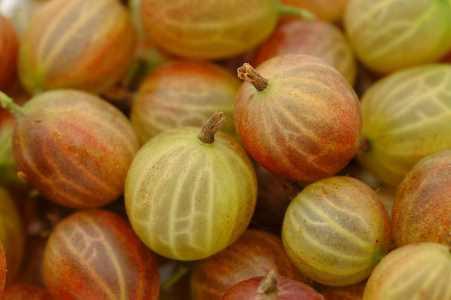 انواع توت -  انگور فرنگی
