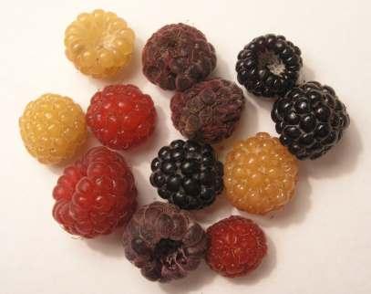 انواع توت - تمشک رنگی