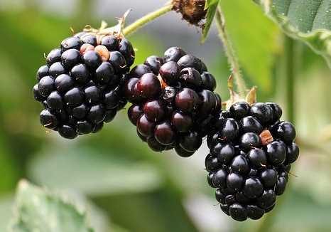 انواع توت -  توت سیاه