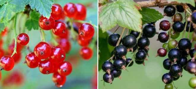 انواع توت - دانه قرمز -دانه سیاه