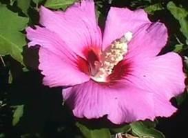 خواص گل ختمی برای بیماری های دستگاه گوارش | گیاه دارویی گل ختمی