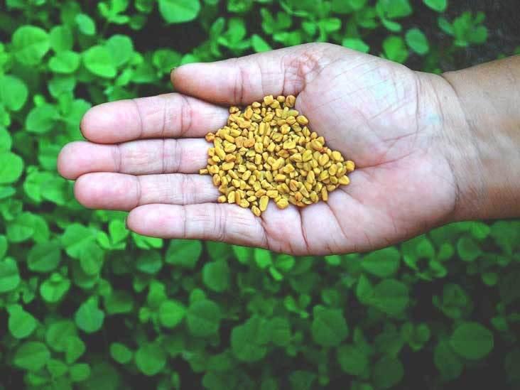 شنبلیله: گیاهی با فواید چشمگیر برای سلامتی