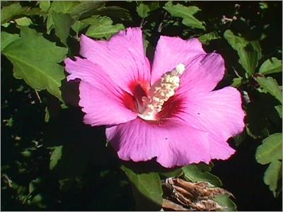 خواص گل ختمی برای بیماری های دستگاه گوارش   گیاه دارویی گل ختمی